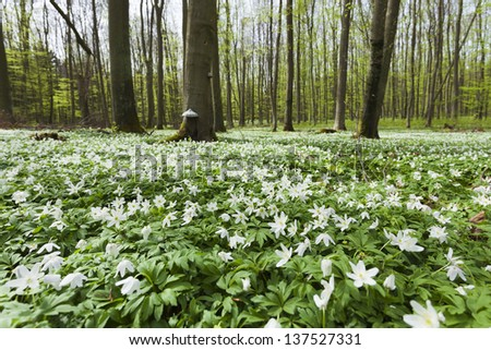 Anemone nemorosa - stock photo