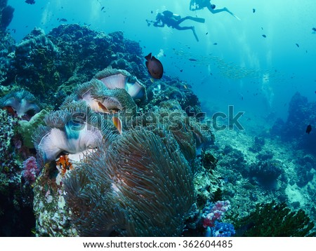 Anemone,or Actinia home or clownfish, urticante marine animal - stock photo