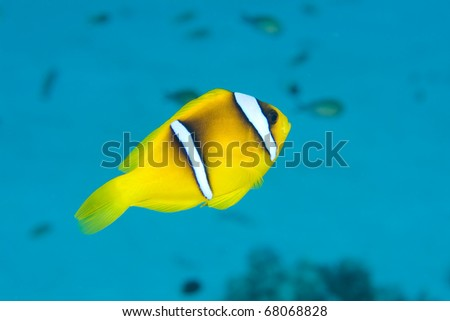 Anemone or Clownfish in the Red Sea, Egypt