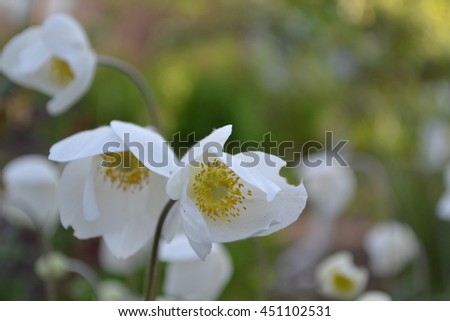 Anemone Silvestris. Delicate white flowers close up on blurred background - stock photo