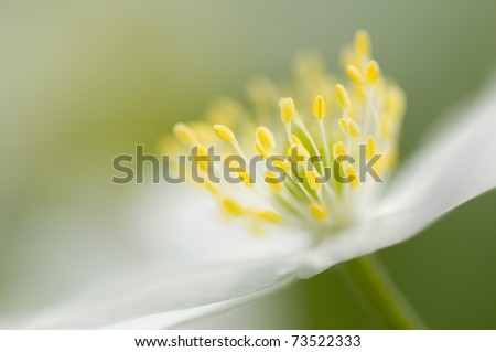 Anemone spring flower - stock photo