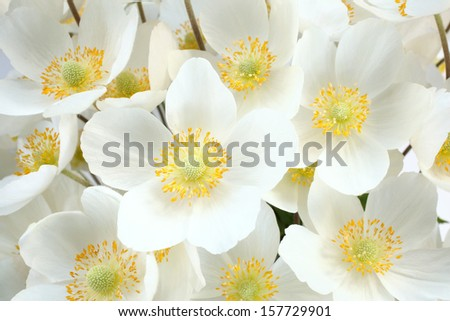 Anemone sylvestris (snowdrop anemone), for backgrounds or textures  - stock photo
