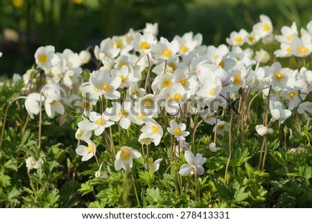 Anemone sylvestris (snowdrop anemone) - White flowers in the botanical garden - stock photo