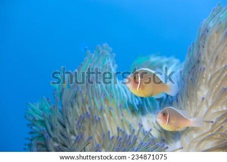 anemonefish - stock photo
