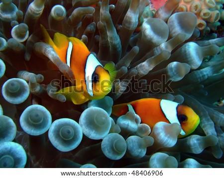 Anemonefish (Amphiprion bicinctus) - stock photo