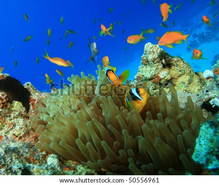 Anemonefish and Lyretail Anthias