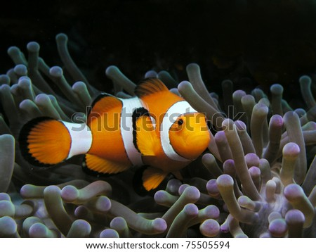 Anemonefish, clownfish, nemo - stock photo