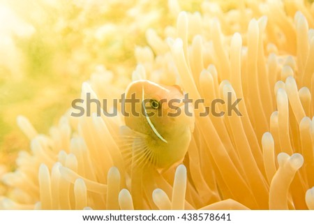 Anemonefish clownfish on underwater coral reef, underwater photography - stock photo