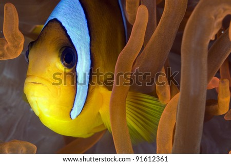 Anemonefish in a red anemone - stock photo
