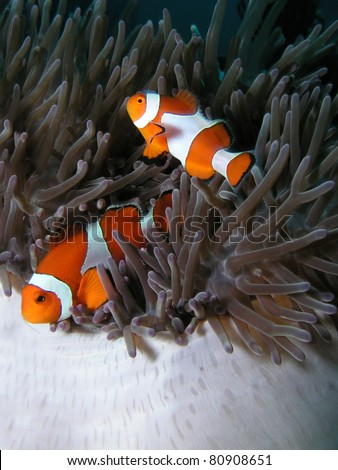 anemonefish nemo - stock photo