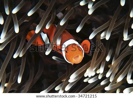 Anenomefish. Great Barrier Reef, Australia. - stock photo