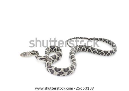 Anery Mexican Night Snake (Elaphe flavirufa) - stock photo