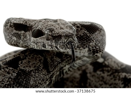 Anerythristic Columbian red-tailed boa (Boa constrictor constrictor) isolated on white background - stock photo
