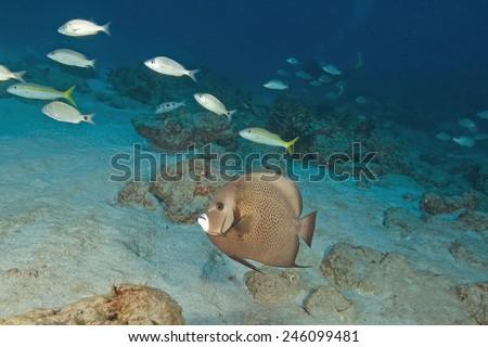 Angel fish at tropical reef - stock photo