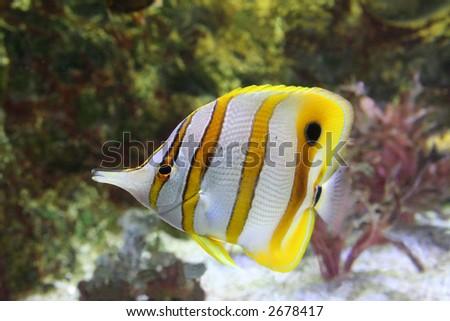 angel fish - chelmon rostratus - stock photo