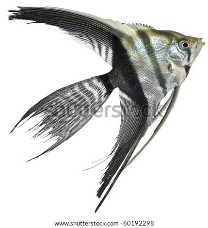 Angel fish isolated in white background - stock photo
