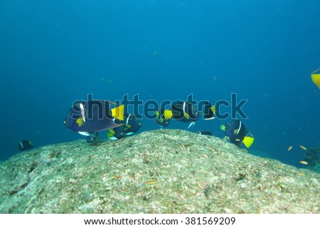 Angel fishes underwater - stock photo