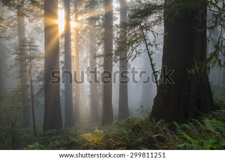 Angel-like sunbeams shine upon ancient redwood tree forest of Northern California. - stock photo