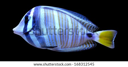 angelfish fish on a black background - stock photo