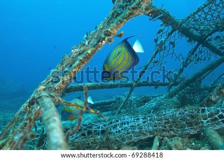 Angelfish getting cleaned by blue striped cleaner wrasse while feeding on an old fishing cage in the Andaman sea, Indian Ocean Thailand. - stock photo