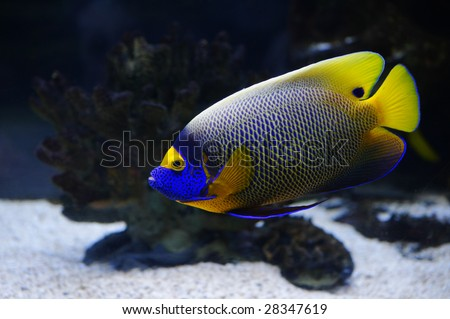 Angelfish in a Moscow Zoo aquarium