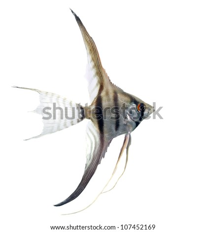 angelfish in profile isolated on whit background - stock photo