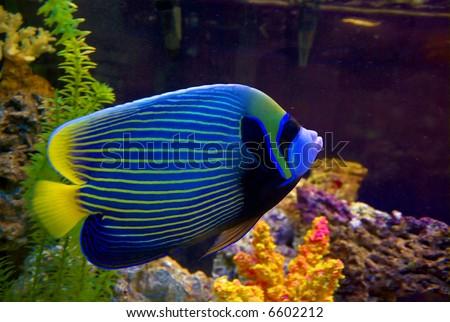 Angelfish in the aquarium closeup - stock photo