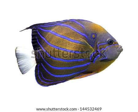 angelfish isolated on white - pomacanthus annularis - stock photo