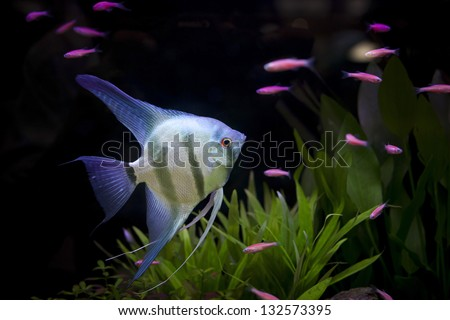 angle fish  in aquarium - stock photo