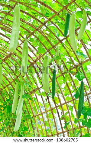 Angled gourd hanging on tree - stock photo