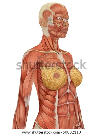 Angled view of the upper body of the female muscular anatomy. Very educational.