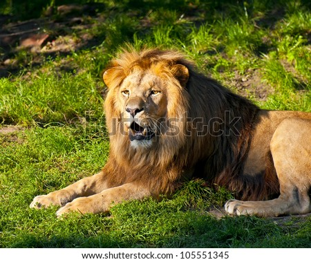 Angola lion  (Panthera leo bleyenbergi) - stock photo