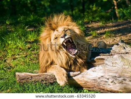 Angola lion roars (Panthera leo bleyenbergi) - stock photo