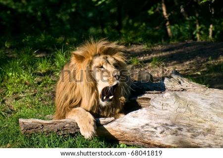 Angola lion roars (Panthera leo bleyenbergi) - stock photo