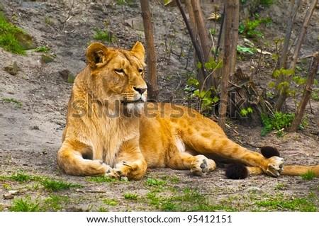 Angola lioness lying (Panthera leo bleyenbergi) - stock photo