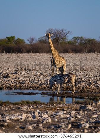 Angolan giraffe (Giraffa camelopardalis angolensis) and mountain zebra (Equus zebra) drinking at a small water hole in Etosha national park, Namibia, Africa. - stock photo