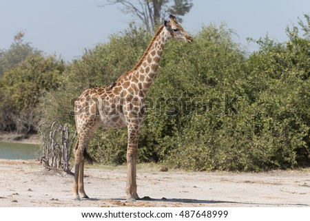 Angolan giraffes, also known as Namibian giraffes in Savuti Area of Botswana Africa