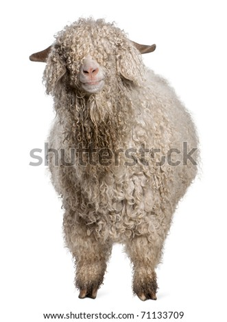 Angora goat in front of white background - stock photo
