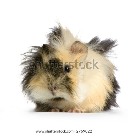 angora guinea pig against a white background - stock photo