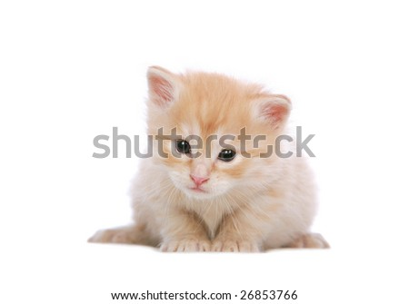 Angora kitten 3 weeks old, on white background - stock photo
