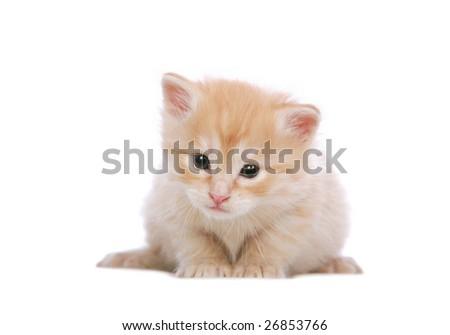 Angora kitten 3 weeks old, on white background - stock photo