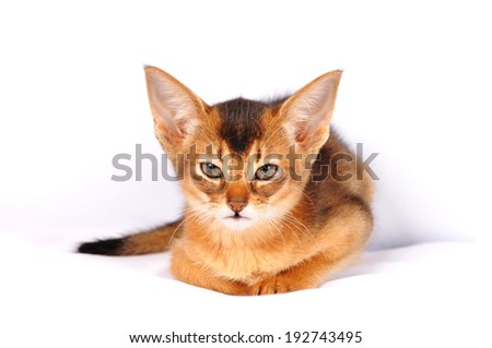 Angry abyssinian kitten ruddy color looking at camera