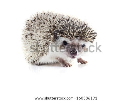 Angry African pygmy hedgehog (Atelerix albiventris) on a white background - stock photo