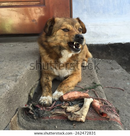 Angry aggressive dog grins - stock photo