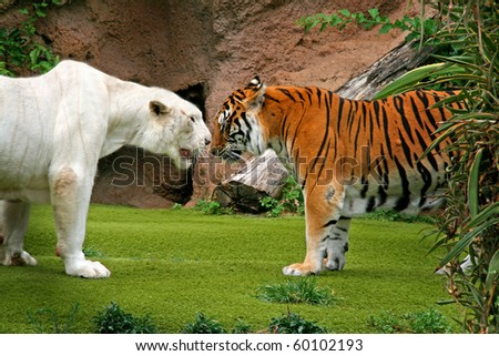 Angry albino male tiger growling at female tiger - stock photo