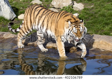 angry Amur tiger, Panthera tigris altaica, beating paws into the water