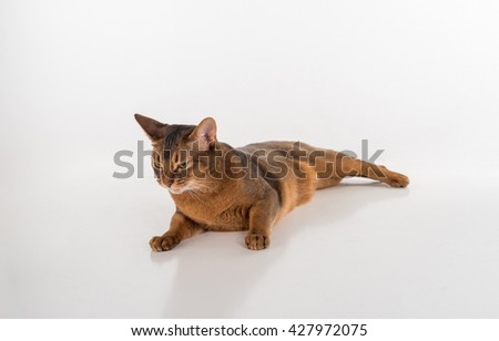 Angry and Curious Abyssinian cat lying on the white background