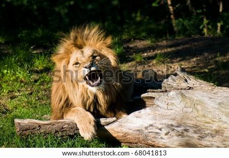 angry Angola lion  (Panthera leo bleyenbergi) - stock photo