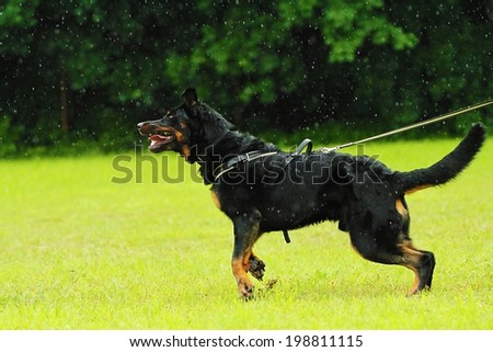 angry beauceron dog protection - stock photo