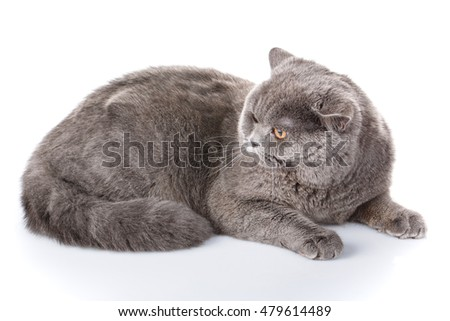Angry big gray british straight cat  lying on a white background, not look at the camera